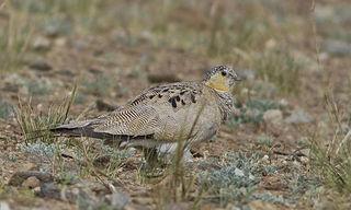 Tibetan sandgrouse Species of bird