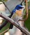 Tickell's Blue Flycatcher Cyornis tickelliae by Dr. Raju Kasambe DSCN0543 (6).jpg