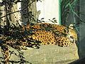 Tierpark Cottbus China-Leopard.JPG
