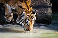 Tiger (15621788491).jpg