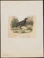 Tinamus tataupa - 1833-1839 - Print - Iconographia Zoologica - Special Collections University of Amsterdam - UBA01 IZ18900225.tif