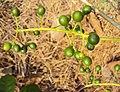 Tinospora cordifolia fruits 06.JPG