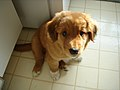 Toller Pup.jpg