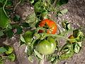 Tomate Quedlinburger fruehe Liebe P1020485.JPG