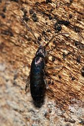 Springtail - Wikipedia