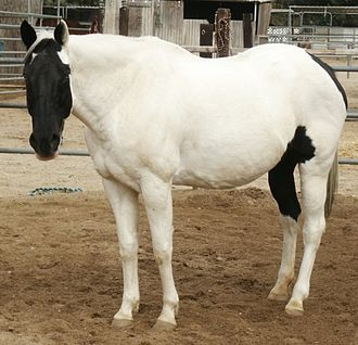 "Tovero - A Tovero colored mare with Two blue eyes and a black ""shield"" on her face."