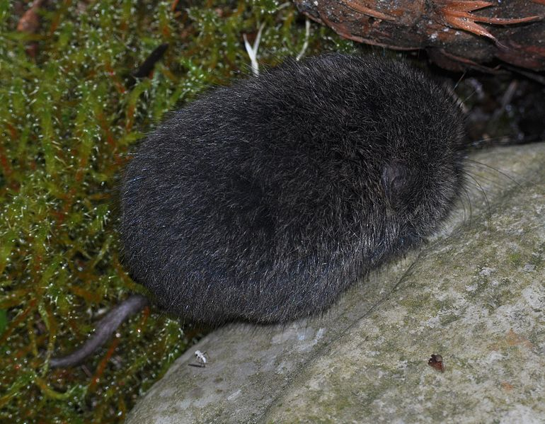 a cute little vole crawling across the image