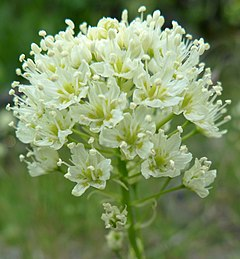 240px toxicoscordion venenosum var. venenosum 2
