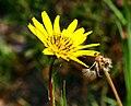 Tragopogon pratensis ENBLA04.jpg