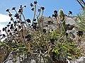 Tree Aeonium (Aeonium arboreum var. 'Atropurpureum') (35622812461).jpg