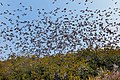 Tree swallow swarm (11804175946).jpg