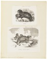 Trichechus rosmarus - 1700-1880 - Print - Iconographia Zoologica - Special Collections University of Amsterdam - UBA01 IZ21100017.tif
