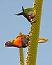 Trichoglossus moluccanus, flowering Xanthorrhoea.jpg