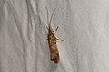 Trichoptera sp. (36368802211).jpg