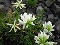 Trifolium alpinum 'album' 2.JPG