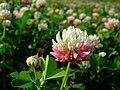 Trifolium hybridum 1.jpg