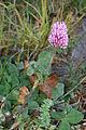 Trifolium pratense (8016794032).jpg