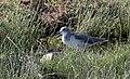 Tringa nebularia - Common Greenshank 01.jpg