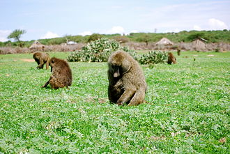 Foraging - A troop of olive baboons (Papio anubis) foraging in Laikipia, Kenya. Young primates learn from elders in their group about proper foraging.