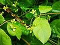 Trzmielina płaskoogonkowa. Euonymus planipes 01.jpg