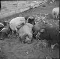 Tule Lake Relocation Center, Newell, California. A view of the hogs at the temporary hog farm. - NARA - 536366.tif