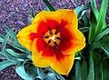 Tulip - panoramio (1).jpg