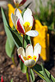 Tulipa (8742210994).jpg