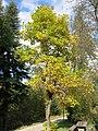 Tulpenbaum Uetliberg.jpg