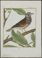 Turdus iliacus - 1700-1880 - Print - Iconographia Zoologica - Special Collections University of Amsterdam - UBA01 IZ16300221.tif