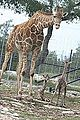 Twin giraffes born at Natural Bridge Wildlife Ranch.jpg