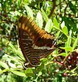 Two-tailed Pasha. Charaxes jasius - Flickr - gailhampshire (2).jpg
