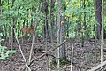 Two Deer in a Wooded Area Lima Township Michigan.JPG