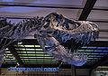 Tyrannosaurus rex 01 IRSNB.JPG