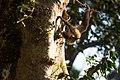 Uday Kiran Lion-tailed macaque eating bark.jpg