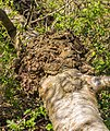 Uitstulping op omgevallen berk (Betula). Locatie, natuurterrein Beekdal Linde Bekhofplas.jpg