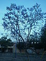 Un hermoso arbol de jacaranda.JPG