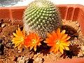 Unidentified Cactaceae in Malta.jpg
