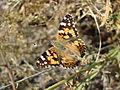 Unidentified Lepidoptera Baikonur 09.jpg