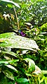 Unidentified Odonata Species in Curug Nangka, Taman Nasional Gunung Halimun Salak, West Java.jpg