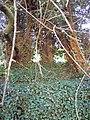 Unusual group of trees - Jeremiahs Tree^ - geograph.org.uk - 397702.jpg