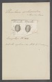 Urceolaria sphaeroidea - - Print - Iconographia Zoologica - Special Collections University of Amsterdam - UBAINV0274 113 21 0029.tif