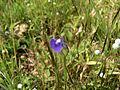 Utricularia purpurascens (1653893120).jpg