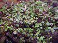 Utricularia striatula leaves.jpg