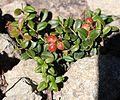 Vaccinium vitis-idaea (Mount Kasa).jpg