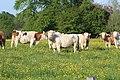 Vaches allée Pré Brus St Cyr Menthon 18.jpg