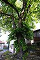 Velm-Götzendorf, Linde bei der ehemaligen Mühle, Naturdenkmal GF-078 (21).jpg