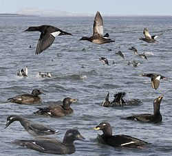 Velvet Scoter from the Crossley ID Guide Britain and Ireland.jpg