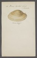Venus textile - - Print - Iconographia Zoologica - Special Collections University of Amsterdam - UBAINV0274 077 12 0040.tif