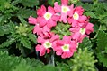 Verbena canadensis Aztec Pink 0zz.jpg