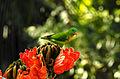 Vernal Hanging Parrot Loriculus vernalis by Dr Raju Kasambe (4).JPG